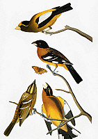 0007637 © Granger - Historical Picture ArchiveAUDUBON: GROSBEAKS.   A male Evening Grosbeak (Coccothraustes vespertinus, formerly Hesperiphona verspertina), top, and Black-headed Grosbeaks (Pheucticus melanocephalus), from John James Audubon's 'The Birds of America,' 1827-1838.