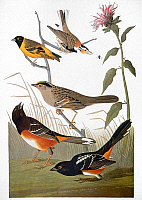 0007829 © Granger - Historical Picture ArchiveAUDUBON: SONGBIRDS.   From top: Chestnut-collared Longspur (Calcarius ornatus), Black-headed Siskin (Spinus notatus, or Carduelis notata), Golden-crowned Sparrow (Zonotrichia atricapilla), and Eastern, or Rufous-sided, Towhee (Pipilo erythrophthalmus), from John James Audubon's 'The Birds of America,' 1827-1838.