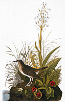 0007831 © Granger - Historical Picture ArchiveAUDUBON: THRUSH.   Tawny thrush (Catharus fuscescens), from John James Audubon's 'The Birds of America,' 1827-1838.