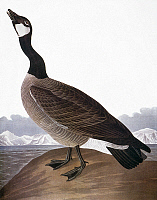 0011252 © Granger - Historical Picture ArchiveAUDUBON: GOOSE.   Canada Goose (Hutchin's Barnacle Goose). Colored engraving from John James Audubon's 'The Birds of America,' 1827-38.