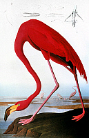 0011309 © Granger - Historical Picture ArchiveAUDUBON: FLAMINGO.   American Flamingo (Phoenicopterus ruber). Colored engraving from John James Audubon's 'Birds of America,' 1827-38.