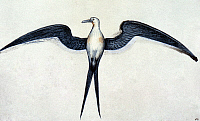 0024307 © Granger - Historical Picture ArchiveWHITE: FRIGATE BIRD.   Watercolor, c1585, by John White.