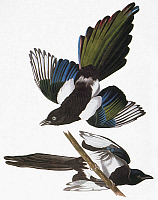 0027606 © Granger - Historical Picture ArchiveAUDUBON: MAGPIE.   Black-billed Magpie (Pica pica), from John James Audubon's 'The Birds of America,' 1827-1838.