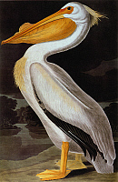 0027610 © Granger - Historical Picture ArchiveAUDUBON: PELICAN.   Great White Pelican (Pelecanus erythrorhynchos), from John James Audubon's 'Birds of America,' 1827-1838.