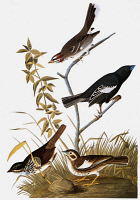 0029332 © Granger - Historical Picture ArchiveAUDUBON: SPARROWS.   Lark Sparrow, or Lark Finch (Chondestes grammacus), top; Lark Bunting, or Prairie Finch (Calamospiza melanocorys), center (male) and lower right (female); and Song Sparrow (Melospiza melodia). Engraving after John James Audubon for his 'Birds of America,' 1827-38.