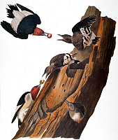 0030263 © Granger - Historical Picture ArchiveAUDUBON: WOODPECKER.   Red-headed Woodpecker (Melanerpes erythrocephalus), from John James Audubon's 'The Birds of America', 1827-1838.