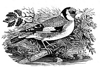 0033603 © Granger - Historical Picture ArchiveGOLDFINCH.   Wood engraving, c1797, by Thomas Bewick.