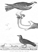 0036328 © Granger - Historical Picture ArchiveORNITHOLOGY, 1808-1814.   1. Fish Hawk 2. Fish Crow 3. Ring Plover 4. Least Snipe. Line engraving from Alexander Wilson's 'American Ornithology,' 1808-1814.