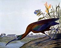0036932 © Granger - Historical Picture ArchiveAUDUBON: IBIS.   Glossy Ibis (Plegadis falcinellus). Lithograph, 1858, by Julius Bien after John James Audubon.