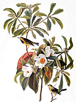 0038569 © Granger - Historical Picture ArchiveAUDUBON: WARBLER.   Bachman's Warbler (Vermivora bachmanii), after John James Audubon for his 'Birds of America,' 1827-1838.