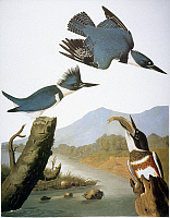 0052040 © Granger - Historical Picture ArchiveAUDUBON: KINGFISHER, 1827.   Belted Kingfisher (Megaceryle alcyon) after John James Audubon for his Birds of America, 1827-38.