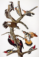 0060770 © Granger - Historical Picture ArchiveAUDUBON: WOODPECKERS.   Hairy Woodpeckers (top left); Red-bellied Woodpeckers (top right); Common Flickers/Red-shafted Woodpeckers (center); below them, Lewis's Woodpeckers; Yellow-bellied Sapsuckers/Red-breasted Woodpeckers (bottom). From John James Audubon's 'The Birds of America,' 1827-1838.
