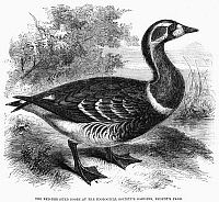 0093090 © Granger - Historical Picture ArchiveRED-BREASTED GOOSE, 1858.   Wood engraving, English, 1858.