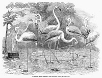 0100460 © Granger - Historical Picture ArchiveFLAMINGOES.   Flamingoes in the gardens of the Zoological Society, Regent's Park, London, England. Wood engraving, 1853.