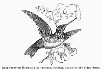 0100472 © Granger - Historical Picture ArchiveRUBY-THROATED HUMMINGBIRD.   Trochilus colubris. Line engraving, 19th century.