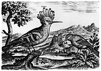 0322315 © Granger - Historical Picture ArchiveCOLLAERT: BIRDS.   A hoopoe and an acanthis bird. Engraving from Adriaen Collaert's 'Avium Vivae Icones,' late 16th century.