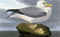 0324836 © Granger - Historical Picture ArchiveAUDUBON: FULMAR.   Northern Fulmar (Fulmarus glacialis). Engraving after John James Audubon for his 'Birds of America,' 1827-38.