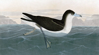 0324839 © Granger - Historical Picture ArchiveAUDUBON: SHEARWATER.   Audubon's, or Dusky-backed, Shearwater (Puffinus lherminieri). Engraving after John James Audubon for his 'Birds of America,' 1827-38.