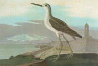 0326792 © Granger - Historical Picture ArchiveAUDUBON: GREENSHANK.   Common Greenshank (Tringa nebularia). Engraving after John James Audubon for his 'Birds of America,' 1827-38, including a view of St. Augustine and Fort Marion, Florida.