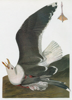 0350498 © Granger - Historical Picture ArchiveAUDUBON: GULL.   Great, or Greater, Black-backed Gull (Larus marinus). Engraving after John James Audubon for his 'Birds of America,' 1827-38.