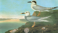 0350503 © Granger - Historical Picture ArchiveAUDUBON: TERNS.   Forster's Tern (Sterna forsteri), top, and Snowy-crowned, or Trudeau's, Tern (Sterna trudeaui). Engraving after John James Audubon for his 'Birds of America,' 1827-38.