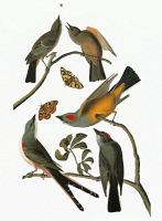 0351348 © Granger - Historical Picture ArchiveAUDUBON: FLYCATCHERS.   Say's Phoebe (Sayornis saya) [top], Western Kingbird (Tyrannus verticalis) [center and lower right], and Scissor-tailed Flycatcher (Tyrannus forficatus). Engraving after John James Audubon for his 'Birds of America,' 1827-38.