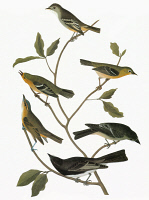 0351349 © Granger - Historical Picture ArchiveAUDUBON: FLYCATCHERS.   Clockwise from top: Least Flycatcher (Empidonax minimus), Small-headed Warbler (Wilsonia microcephala), Alder Flycatcher (Empidonax alnorum), Black Phoebe (Sayornis nigricans), Yellow-green Vireo (Vireo flavoviridis), Blue Mountain Warbler (Dendroica montana). Engraving after John James Audubon for his 'Birds of America,' 1827-38.