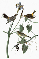 0351667 © Granger - Historical Picture ArchiveAUDUBON: WARBLER.   Yellow-rumped Warbler (Setophaga coronata, formerly Dendroica coronata). Engraving after John James Audubon for his 'Birds of America,' 1827-38.