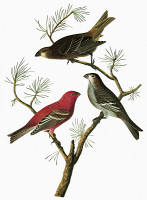 0351968 © Granger - Historical Picture ArchiveAUDUBON: GROSBEAK.   Pine Grosbeak (Pinicola enucleator). Engraving after John James Audubon for his 'Birds of America,' 1827-38.