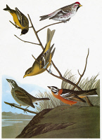 0351981 © Granger - Historical Picture ArchiveAUDUBON: SONGBIRDS.   From top: Hoary Redpoll (Carduelis hornemanni, or Acanthis hornemanni); Lesser Goldfinch (Spinus psaltria, or Carduelis psaltria); female Western Tanager (Piranga ludoviciana); Townsend's Dickcissel, or Townsend's Bunting (Spiza townsendi), left; Smith's Longspur (Calcarius pictus). From John James Audubon 'Birds of America,' 1827-38.