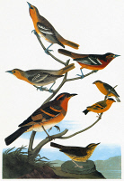 0351983 © Granger - Historical Picture ArchiveAUDUBON: SONGBIRDS.   From top: Two Bullock's Orioles (Icterus bullockii), facing left; female Baltimore Oriole (Icterus galbula), facing right; two Yellow-faced Siskins (Spinus yarrellii, or Carduelis yarrellii); Varied Thrush (Ixoreus naevius); and Northern Waterthrush (Parkesia noveboracensis). From John James Audubon's 'Birds of America,' 1827-38.