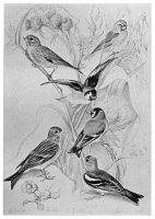 0525978 © Granger - Historical Picture ArchiveBLACKBURN: BIRDS, 1895.   'Goldfinch, Chaffinch, Linnet, Lesser Redpoll, Twite, or Mountain Linnet.' Illustration by Jemima Blackburn, 1895.