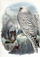 0528645 © Granger - Historical Picture ArchiveGYRFALCON, 1873.   Greenland gyrfalcon (Falco rusticolus). Illustration by John Gould from 'The Birds of Great Britain,' 1873.