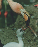 0621133 © Granger - Historical Picture ArchiveFLAMINGO: FEEDING, 1995.   A flamingo feeding its chick. Photograph by Günter Peters, 1995. Full Credit: ullstein bild - Günter Peters / Granger, NYC. All Rights Reserved.