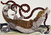 0081958 © Granger - Historical Picture ArchiveCAIMAN AND SNAKE.   A Cuvier's dwarf caiman of Surinam with a false coral snake in its jaws. Copper engraving, 1719, after a drawing, c1705, by Maria Sibylla Merian.
