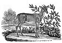 0034354 © Granger - Historical Picture ArchiveRED DEER.   The stag, or red deer. Wood engraving from the second edition of 'The Figures of Bewick's Quadrupeds' by Thomas Bewick, Newcastle, England, 1824.