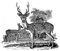 0082320 © Granger - Historical Picture ArchiveDEER.   The Axis or Ganges stag. Wood engraving from the second edition of 'The Figures of Bewick's Quadrupeds' by Thomas Bewick, Newcastle, England, 1824.