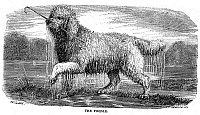 0082353 © Granger - Historical Picture ArchivePOODLE.   Wood engraving, late 19th century.