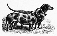 0133512 © Granger - Historical Picture ArchiveDOGS: DACHSHUNDS.   Two dachshunds. Line engraving, 19th century.