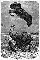 0077147 © Granger - Historical Picture ArchiveWHITE-TAILED SEA EAGLES.   Wood engraving, 19th century.