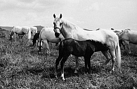 0165924 © Granger - Historical Picture ArchiveAUSTRIA: HORSE FARM.   Lipizzan horses grazing on a farm in Piber, Austria; the farm's brand, a 'P' topped by a crown, is visible on the croup of the white horse in the foreground. Photographed c1965.
