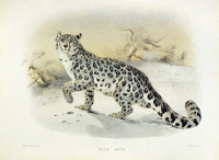 0033767 © Granger - Historical Picture ArchiveSNOW LEOPARD.   Snow leopard (Panthera uncia). Lithograph, English, 1883.