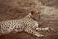 0056382 © Granger - Historical Picture ArchiveAFRICAN WILDLIFE: CHEETAH   (Acinonyx jubatus). RESTRICTED OUTSIDE US.