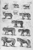 0101000 © Granger - Historical Picture ArchiveFELINES.   Line engraving, c1800.