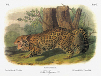 0353066 © Granger - Historical Picture ArchiveAUDUBON: JAGUAR.   Jaguar (Panthera onca). Lithograph, c1854, after a painting by John Woodhouse Audubon for John James Audubon's 'Viviparous Quadrupeds of North America.'