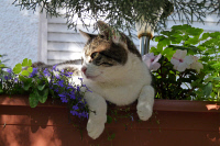 0622218 © Granger - Historical Picture ArchiveDOMESTIC CAT, 2009.   A domestic cat at rest on top of a flowerbed. Photograph, 2009. Full Credit: ullstein bild - McPhoto / Michael Ritter / Granger, NYC. All Rights Reserved.