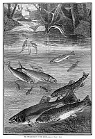 0267447 © Granger - Historical Picture ArchiveFISH, 1880.   'The speckled beauty of the brooks.' Engraving after a drawing by Daniel C. Beard, 1880.
