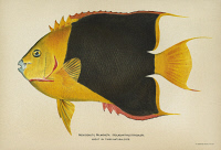 0354147 © Granger - Historical Picture ArchiveFISH: ROCK BEAUTY.   Rock beauty (Holacanthus tricolor). Lithograph by Julius Bien & Co., 1903.