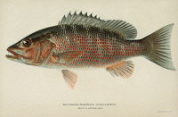 0354151 © Granger - Historical Picture ArchiveFISH: GRAY SNAPPER.   Gray, or mangrove, snapper (Lutjanus griseus). Lithograph by Julius Bien & Co., 1903.