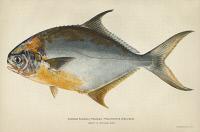 0354153 © Granger - Historical Picture ArchiveFISH: FLORIDA POMPANO.    Florida, or common, pompano (Trachinotus carolinus). Lithograph by Julius Bien & Co., 1903.